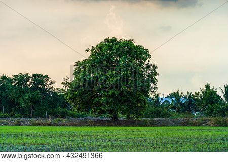 Scenic View Landscape Of Rice Field Green Grass With Field Cornfield With Solitary Tree In Country A