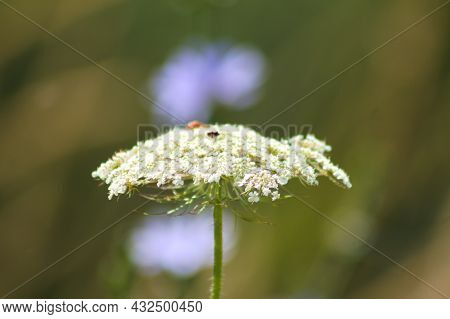Wild Carrot In Florescence Close-up View With Selective Focus On Foreground