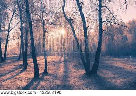 Frosted Trees In Winter Forest At Misty Morning. Pink Sunlight Through The Trees At Sunrise. Beautif