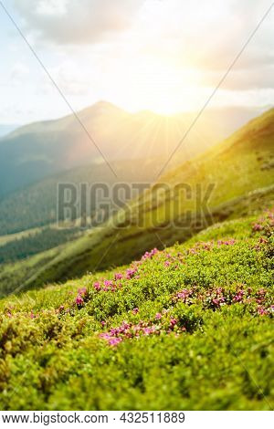 Beautiful View Of The Pink Rhododendron Rue Flowers Blooming On Mountainside With Natural Hills With