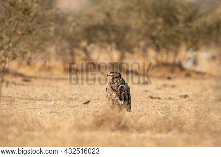 Steppe Eagle Or Aquila Nipalensis Portrait Or Closeup On Ground In An Open Field During Winter Migra
