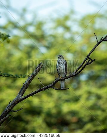 Shikra Or Accipiter Badius Or Little Banded Goshawk Portrait With Eye Contact Perched On Branch In N