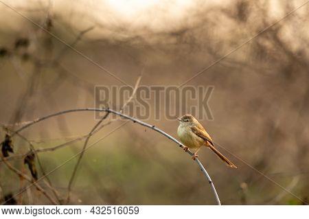 Plain Prinia Or Prinia Inornata Or Plain Wren Warbler Or White Browed Wren Warbler Bird Portrait At