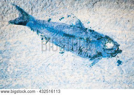 Fossil Fish. Close Up Of Blue Toned Prehistoric Knightia Alta Specimen From Eocene Period Alive 40 M