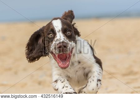 Happy Puppy Running On The Beach. Crazy Dog Having Fun. Funny Animal Meme Image Of A Bouncy Spaniel