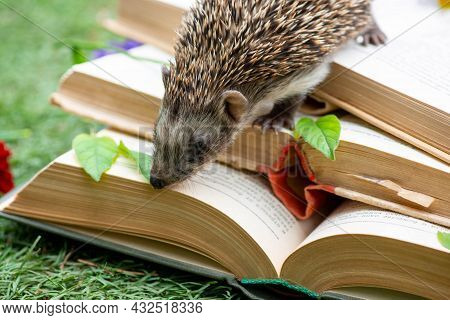 Playful Hedgehog Crawls On Books Open In A Clearing