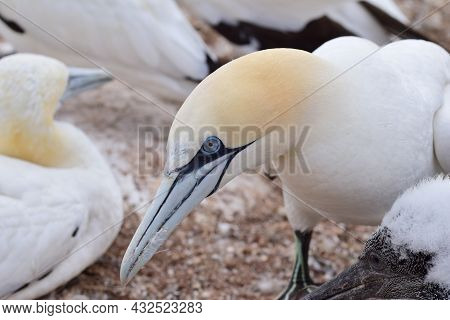 Northern Gannets With A Youngster Sitting On The Rocks As A Close Up
