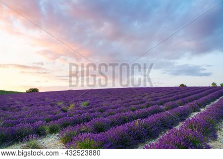 Beautiful Blooming Purple Lavender Fields Near Valensole In Provence, France. Typical Traditonal Pro
