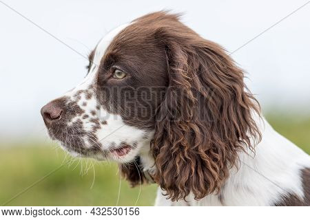 Spaniel Puppy Dog Portrait Image. Close-up Of A Cute Spaniel Face In Profile. Beautiful Handsome Spr