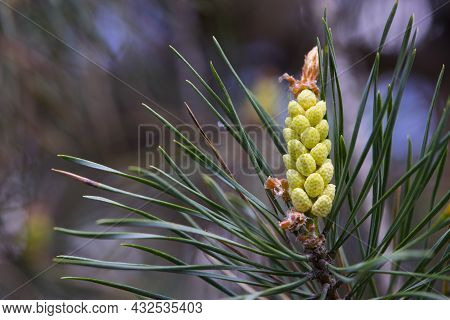 Pinus Resinosa. Young Pineoung Tender Cones On A Pine Branch In The Forest. Pinus Resinosa, Male Pol