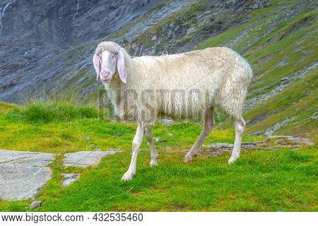 Cute White Alpine Sheep On Mountain Pasture.