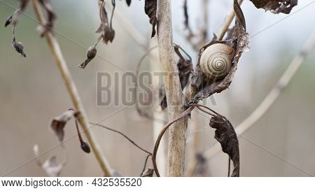 Snail On Dry Plant. Small Spiral Shell Of Snail On Dried Plant Stem. Beautiful Natural Background. M
