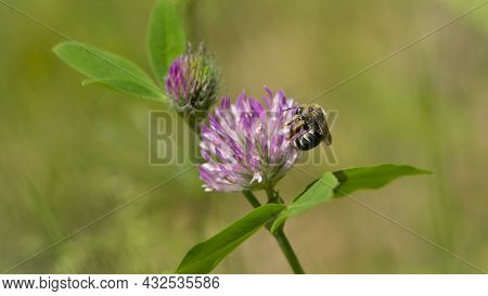 Bee At Work On Clover Flower Collecting Pollen. Bright Delicate Pink Clover Flower, Honey Bee. Macro