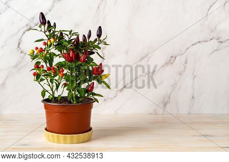 Potted Hot Chili Pepper Plant On A White Wooden Kitchen Table. Three Species Of Chili Pepper In One