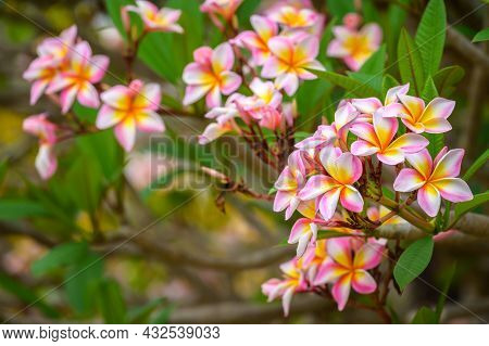 Frangipani (or Plumeria Flower) Flowers Blooming In The Nature. This Evocative Tropical Flower, With