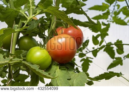 Bunch Of Organic Ripe And Unripe Tomato In Greenhouse. Homegrown, Gardening And Agriculture Consept.
