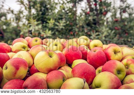 Lots Of Just Picked Ripe Red And Yellow Apples In A Picking Crate In The Foreground. In The Backgrou