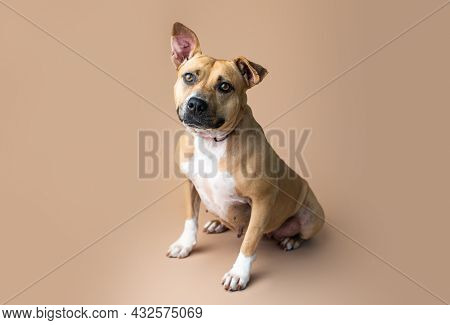 Mixed-breed Dog. Pit Bull Terrier Mixed Breed Dog On Plain Background.