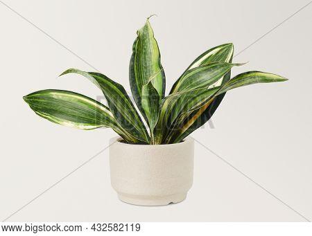 Sansevieria  in a ceramic pot