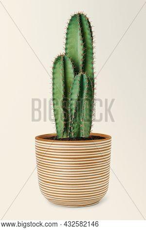 Blue columnar cactus in a ceramic pot