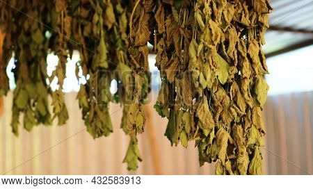 Bunches Of Lemon Balm Hanging Under A Canopy In The Yard And Drying For Homemade Tea, Collecting Use