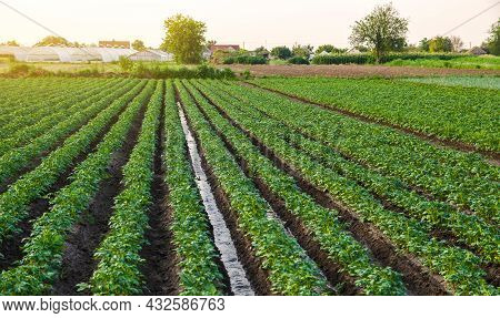 Water Flows Through The Potato Plantation. Watering And Care Of The Crop. Surface Irrigation Of Crop
