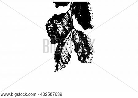 Aspen Branch With Leaves On A White Background. Black Silhouette Of A Tree Branch. Vector Illustrati