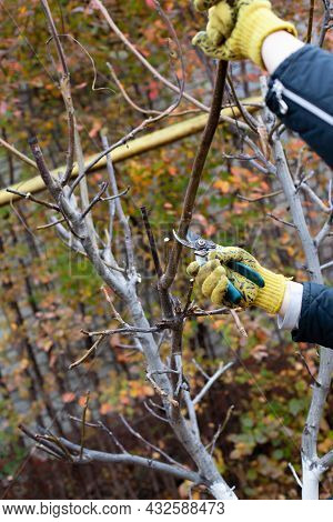 Pruning Trees In Autumn Garden. Close-up Of Mans Hands In Yellow Gloves And Pruning Shears Trimming