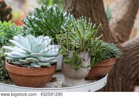 Succulent Echeveria Elegans. Evergreen Perennial With Rosettes Of Pale Green-blue Leaves. Side View