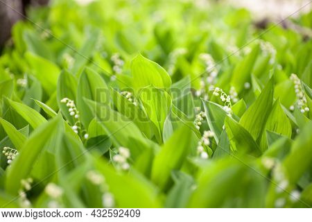 Lily Of Valley Close-up. Blooming Field Of Beautiful Lilies Of Valley In Spring Forest In Light Of S
