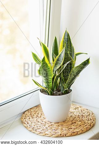 Mother-in-law's Tongue In A White Pot On The Windowsill. Indoor Plants, Sansivieria Trifasciata.