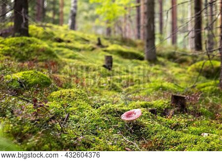 Toadstool Grows In The Forest. Inedible And Dangerous Mushrooms. Finnish Nature. Photo