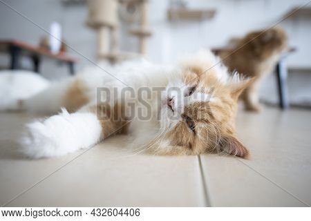 Persian Cat Lying In A Room Specially Prepared For Cats. Persian Cats Are Popular As Pets Because Th