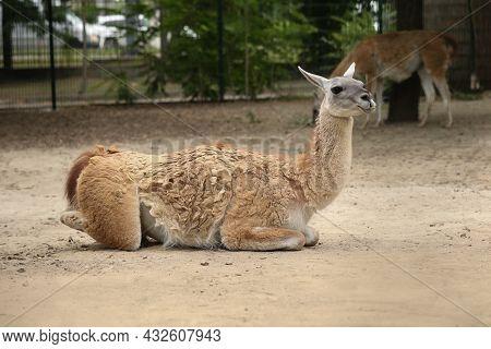 Cute Guanaco In Zoo Enclosure. Wild Animal