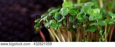 Microgreen Foliage Background. Close-up Of 6 Days Radish Microgreen. Germinating Seeds At Home. Vega