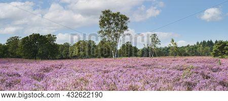Panoramic Image Of Blooming Purple Heather De Kampina Nature Reserve