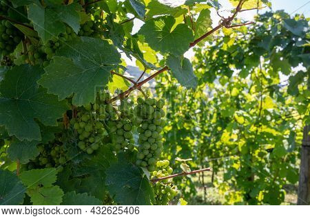 Hilly Vineyards With White Riesling Grapes In Mosel River Valley, Germany