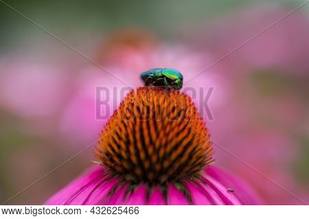Blooming Flower Echinacea With Leaves
