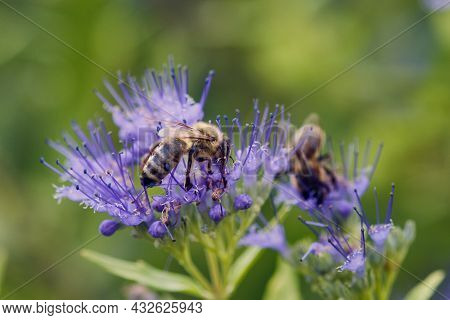 Bee Insect Pollinating Purple Flower Macro Detail