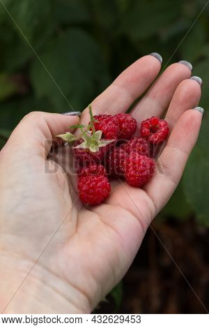 Ripe Sweet Raspberries On A Woman's Palm. Fresh Crop, Just Plucked From The Bush. Vertical Orientati