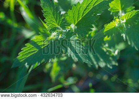 Fresh Lemon Balm Leaves On A Plant Of Green Fragrant Mint.