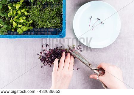 The Woman Cuts The Micro-greens With Scissors And Lays The Sprouts On A Plate. Microgreen Mix, Grown