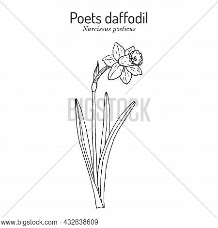 Poets Daffodil, Or Nargis, Pheasant S Eye, Findern Flower, Pinkster Lily Narcissus Poeticus . Hand D