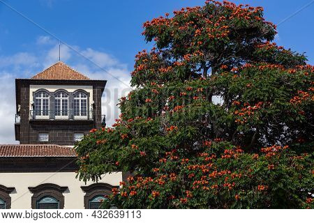 Funchal, Portugal - August 29, 2021: This Is The Crown Of An African Tulip Tree Near A Historic Buil