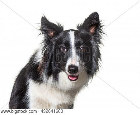 Close-up of black and white Border Collie dog intrigued, looking at camera. Isolated