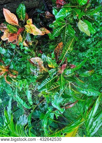 Crotons Means That The Plant Symbolizes Change. It Is A Variety Colour Combination Croton Leaf Tree