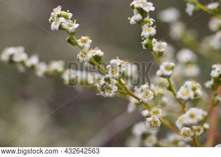 White Terminal Panicle Inflorescences Of Resinbrush, Adenostoma Fasciculatum, Rosaceae, Native In Th