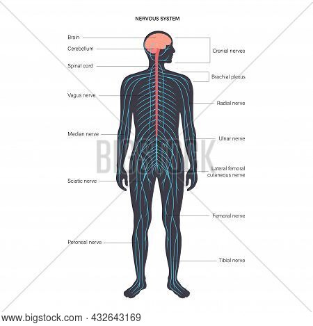 Central Nervous System Anatomical Diagram. Nerves Send Electrical Signals To And From Brain And Spin