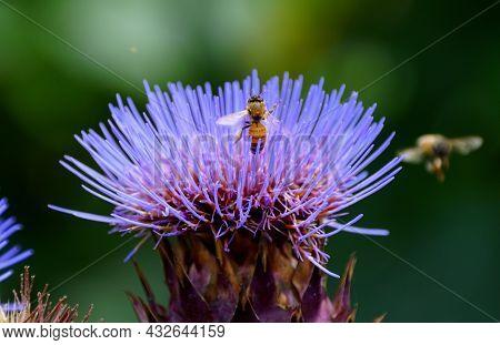 A Bee Pollinating A Purple Artichoke Thistle Flower, Also Known As Globe Artichoke