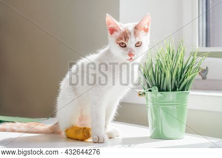 White And Ginger Cat 3-4 Months Sits Near Window. Kitten With Foot Bandaged With Yellow Bandage In R